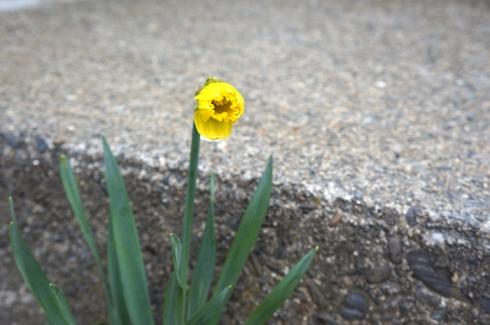 clark daffodil