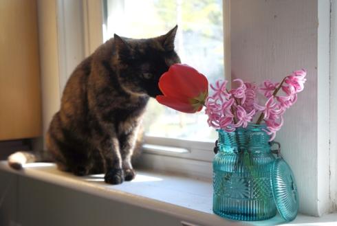 daisy tulip